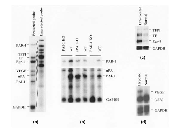 <t>RNase</t> protection assay with the set of coagulation/fibrinolytic genes. (a) Typical eight-band protection pattern resulting from the analysis of 5 μg of mouse-skin total RNA. (b) Kidney RNA prepared from various knockout (KO) mice ( PAI1- , UPA-, or PAR1 -deficient mice) and from wild-type (WT) mice, analyzed using <t>RPA.</t> (c) Kidney RNA prepared from lipopolysaccharide (LPS)-treated or untreated mice, analyzed using RPA. (d) RNA from murine hypoxic or normal endothelial cells, analyzed using RPA. In all these RPA experiments, 5 μg of total RNA/lane was analyzed.