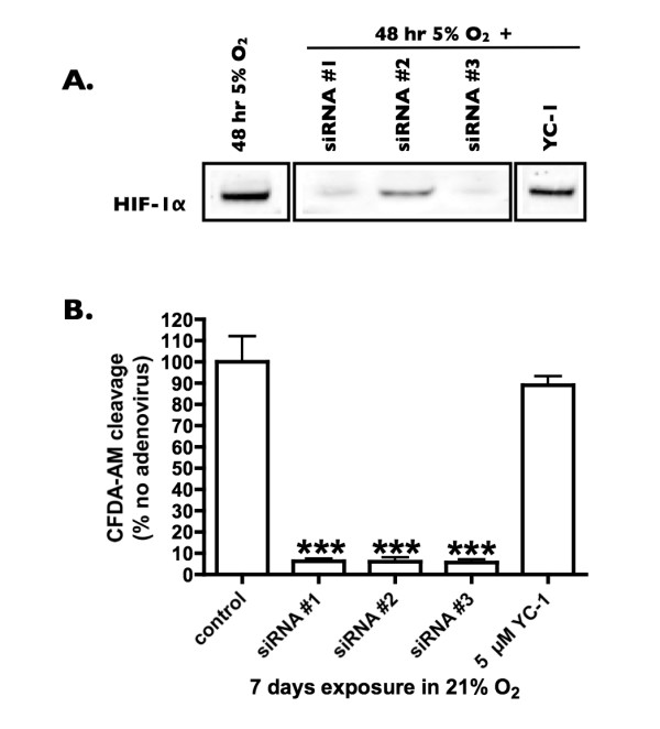 Effect of adenoviral siRNA on HIF-1α protein (A) and cell proliferation (B) in HMEC-1 cells . Adenoviral vectors containing hairpin siRNAs against HIF-1α were created as in the methods. Panel A. HMEC-1 cells were infected with 50–100 PFU/cell adenovirus or 5 μM YC-1, exposed to 5% O 2 for 48 hours then cell lysates made and HIF-1α protein expression assessed by Western blot. Representative bands for HIF-1α are shown. Panel B. HMEC-1 cells were infected with adenovirus or treated with 5 μM YC-1 every 3 days for 7 days and cell proliferation assessed using the CFDA-AM assay as in methods. The data represent the mean +/- SEM of triplicate wells from 3 independent experiments. *** = P