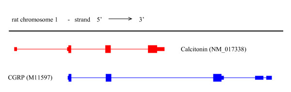 Alignment of the mRNAs for calcitonin (red) and CGRP (blue) to the genomic sequence (black line). The GenBank [28] accession numbers are given in parentheses. The coloured bars represent exons, with the narrower sections representing untranslated regions. The thin lines connecting the exons represent spliced out intronic regions. Genomic sequence was from the UCSC June 2003 rat assembly [10], and the alignments of the mRNAs to the genomic sequence were obtained from UCSC Genome Bioinformatics [10].