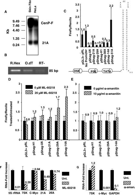 Pol III-Dependent Synthesis of Novel Transcription Units (A) Northern blot analysis of human skin fibroblasts and HeLa cells. Results show two bands: the first (detected at about 300 nucleotides) being the 21A endogenous product and the second (of a very high molecular mass) representing CENP-F mRNA. (B) 21A -specific RT-PCR amplification. As expected for nonpolyadenylated transcripts, an efficient amplification product was obtained only in the random hexamers-primed reactions. (C) Promoter activity transfection assay. A specific luciferase-silencing hairpin is transcribed by six PSE/DSE-dependent promoter elements (11A [ H1 RNA], 14A, 21A, 29A, 38A, 51A). A view of the silencing constructs including the hairpin nucleotide sequence is enclosed. The promoter region encompasses the putative pol III type 3 regulatory regions (TATA box, PSE, and DSE). <t>pGL3</t> + pRL, negative control; pSHAG- U6, canonical pol III promoter; No promoter, hairpin without PSE/DSE-dependent promoter thus resulting transcriptionally inactive. (D and E) Promoter-activity transfection assay in presence/absence of 20 μM ML-60218 cell-permeable pol III inhibitor or 10 μg/ml α-amanitin pol II–specific inhibitor. Results are reported as luciferase emission of treated versus untreated samples. (F) Real-time RT-PCR analysis of transcript levels for 21A and 29A transcription units, two known pol III–transcribed genes (7SK and 5S rRNA), and one pol II–transcribed gene (c-Myc) in ML-60218 treated/untreated cells, as resulting after normalization of each treated sample with its untreated counterpart. All the measures were referred to a ML-60218 unaffected pol II housekeeping gene (GAPDH). (G) Real-time RT-PCR analysis of the RNA level of two known pol II–transcribed (c-Myc and GAPDH) and one pol III–transcribed (7SK) genes in α-amanitin treated/untreated cells as resulting after normalization of each treated sample with its untreated counterpart. All the measures were referred to an α-amanitin unaffec