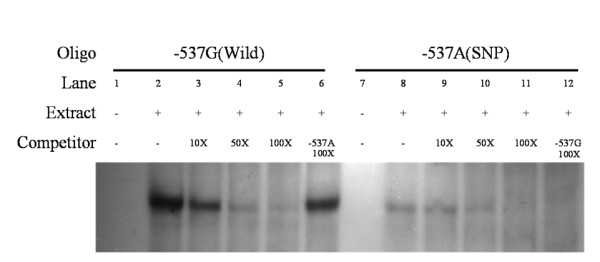 EMSA with HeLa nuclear extracts using -537G and -537A oligonucleotides . Binding activities of [γ- 32 P] ATP-labeled -537G (lane 1–6) and -537A (lane 7–12) oligonucleotides. The assay was performed in the presence (+) or absence (-) of HeLa nuclear extracts. Unlabeled -537G or -537A oligonucleotides were used in competition assays. Each binding reaction contained 5 mg of HeLa nuclear extracts and labeled -537G (lanes 2–6) or -537A (lanes 8–12) oligonucleotides. Excess unlabeled oligonucleotides (10-, 50- and 100-fold) were included in the binding reactions as competitors (Lanes 3–5 and 9–11, respectively). In addition, we added a 100-fold excess of unlabeled -537A and -537G oligonucleotides to compete with -537G (Lane 6) and -537A (Lane 12) oligonucleotides. The binding activity of -537G was unaffected, even in the presence of a 100-fold excess of -537A competitor (lane 6). However, the -537A oligonucleotide could not bind transcription factor (lane 12), and displayed no band in the presence of a 100-fold excess of -537G probe.