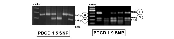 Gel electrophoresis patterns of PD-1.5 and PD-1.9. (a) The amplified fragments of PD-1.5 were digested with Alu I: the polymerase chain reaction (PCR) product size was 333 base pairs (bp), which was digested to 264 and 69 bp. If the product was digested, the allele was identified as T; if not, it was identified as C. (b) The amplified fragments of PD-1.9 were digested with Bpu 10I: the PCR product size was 408 bp, which was digested to 260 and 145 bp. If the product was digested, the allele was identified as C; if not, it was identified as T.