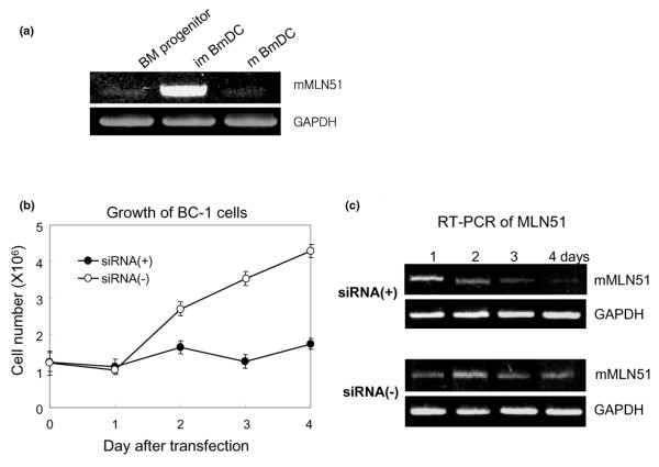 MLN51 expression in dendritic cells (DCs) and its effect on the proliferation of immature DCs. (a) MLN51 expression is upregulated only in immature bone marrow-derived dendritic cells (BmDCs) in contrast with bone marrow progenitor cells or mature BmDCs. Total RNA was extracted from each sample with Trizol reagent. RT-PCR was performed with mouse MLN51 primers. (b) BC-1 cells (10 6 ) were transfected with 4 μg of mMLN51 siRNA (siRNA(+)) or control siRNA (siRNA(-)). The transfected cells were harvested every day and assessed for their proliferation over a period of 4 days. The results are means ± SD obtained from single experiments performed in triplicate cultures. (c) Total RNA was extracted each day from the transfected BC-1 cell cultures. mMLN51 was assessed in each sample by RT-PCR as described previously with primers. Results in (a) and (c) are representative of three separate experiments.