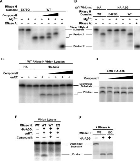Enzymatically Inactive Virion-Incorporated HA-A3G Is Activated by Viral RNase H (A) Recombinant RTs containing either a WT or mutant (E478Q) RNase H catalytic domain were assessed for RNase H activity in vitro in the absence or presence of the RNase H inhibitor Compound I (final concentration of 1, 10, or 100 μM). The RNA of an RNA–DNA hybrid remains intact unless RNase H digests the RNA into a smaller cleavage product that is distinguishable from the more complete cleavage product generated by RNase A. WT RNase H cannot digest ssDNA or DNA of an RNA–DNA hybrid, or RNA–RNA hybrids (data not shown). RNase H assays were performed in RNase H buffer (50 mM Tris [pH 8.0], 60 mM KCl) with (+) or without (−) 5 mM MgCl 2 or RNase A, as indicated. (B) Viruses bearing the RNase H E478Q mutation are compromised for in vitro RNase H activity. RNase H assays were performed in RNase H buffer with (+) or without (−) 5 mM MgCl 2 or RNase A, as indicated. (C) Virion lysates were subjected to endogenous reverse transcription (enRT) conditions with or without Compound I (final concentration of 0.1, 1, 10, or 100 μM), and A3G activity in these samples assessed in the in vitro deoxycytidine deaminase assay. Deaminase assays were performed in RNase H buffer either supplemented (enRT:+) or not (enRT:−) with 4 mM MgCl 2 and 1 mM dNTPs. (D) Compound I does not inhibit the intrinsic deoxycytidine deaminase activity of A3G. HA-A3G from RNase A–treated virion lysates was assessed for in vitro deaminase activity in the presence of increasing doses of Compound I (0.1, 1, 10, and 100 μM). Deaminase assay was performed in RNase H buffer supplemented with RNase A only. (E) Virions containing WT RNase H or the E478Q mutation in the RNase H catalytic domain were subjected to the enRT reaction followed by assessment of A3G enzymatic activity. Deaminase assays were performed in RNase H buffer either supplemented (enRT:+) or not (enRT:−) with 4 mM MgCl 2 and 1 mM dNTPs. (F) WT and RNase H–compromised ΔV