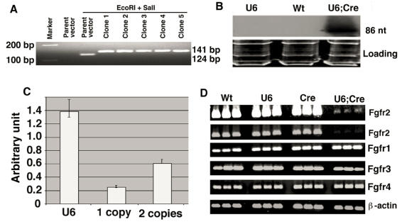 Screening for the U6-Neo-RNAi vector containing the insert and its expression in mouse after deletion of the neo by EIIa-Cre transgene. (A) After double-strand oligo ligation into the pBS/U6-neo vector, check insertion by SalI and EcoRI restriction and migration in a 3% agarose gel. Run two controls (parent and restricted parent vector) and an appropriate molecular weight marker (100, 150 and/or 200 bp). (B) Northern blot showing expression of pBSU6-Neo-RNAi against mouse Fgfr2. Cre mediated deletion of the neo from U6-ploxPneo-Fgfr2 transgene allows expression of Fgfr2 RNAi. (C) Assessment of copy number of U6-ploxPneo-Fgfr2 transgene by realtime PCR using primers for neo gene. Control DNA with 1 copy and 2 copies of neo gene are from Sirt6+/- and Fgfr1-/- ES cells, respectively. (D) RT-PCR analysis of Fgfr1-4 expression in E12.5 embryos of different genotypes. Wt: Wild type; U6: U6-ploxPneo-Fgfr2; Cre: EIIa-Cre ; and U6;Cre: U6-Fgfr2;EIIa-Cre . The first row is a longer exposure of the second row. Three embryos for each genotype were shown. RT-PCR was performed using the following primers: Fgfr1-F: 5'-TTCTGGGCTGTGCTGGTCAC-3', and Fgfr1-R: 5'-GCGAACCTTGTAGCCTCCAA-3'. Fgfr2-F: 5'-AAGGTTTACAGCGATGCCCA-3', and Fgfr2-R: 5'-ACCACCATGCAGGCGATTAA-3'. Fgfr3-F: 5'-CTAGTGTTCTGCGTGGCGGT-3', and Fgfr3-R: 5'-TTCTTATCCATTCGCTCCGG-3'. Fgfr4-F: 5'-CTGTTGAGCATCTTTCAGGG-3', and Fgfr4-R: 5'-CGTGGAAGGCCTGTCCATCC-3'.