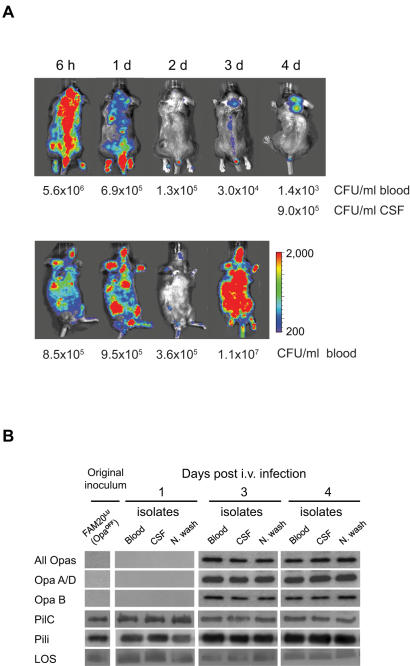 Dynamic meningococcal disease progression selects for Opa expression. (A) Mice with mild-disease pattern were imaged over 4 days using a detection scale of 200/2000 counts. Bioluminescent signals from the mice were undetectable at 2 days (2d) post-infection. From day 3 (3d), the signals reappeared either in the brain (upper panel) or in the whole body (lower panel). Images are representative of each subgroup. Each panel follows one mouse over time. Bacterial loads in blood and CSF at indicated time points post-challenge are shown. (B) N. <t>meningitidis</t> was isolated from blood, CSF or nasal washes (N wash) at day 1, 3 and 4 after infection. Recovered isolates together with the initial inoculum, were analyzed for expression of Opa proteins (30 kDa), PilC (110 kDa), and pili (PilE subunit 16 kDa) by immunoblots. LOS (6.5 kDa) was analyzed by Tricine SDS-PAGE.