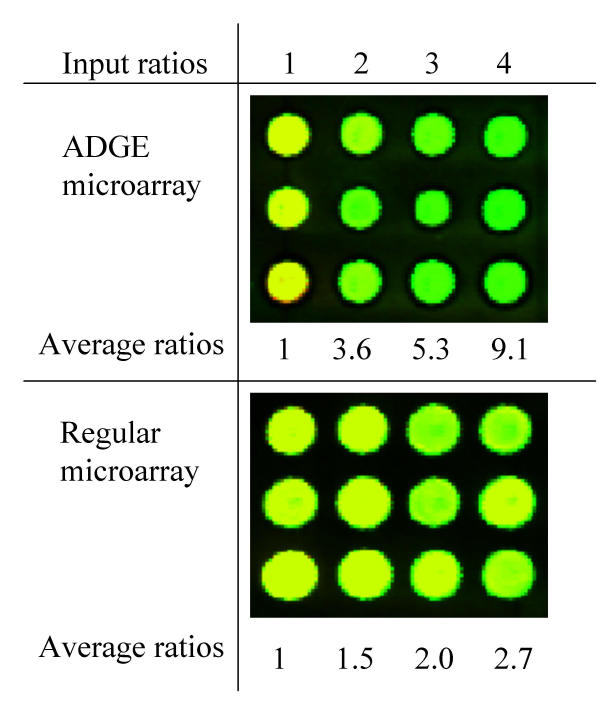 Composite images of ADGE microarray and regular microarray. The clones corresponding to the contiguous area of twelve spots (3 × 4) were amplified by using <t>PCR</t> with the primers having a Taq I site at the end. After cut with Taq I , the same amount of <t>DNA</t> for each clone was ligated to the CT and TT adapters. The CT and TT adapter-linked DNA fragments were mixed in ratios of 1:1 for the three clones of the first column, 1:2 for the clones of the second column, 1:3 for the clones of the third column, 1:4 for the clones of the fourth column. The top panel is the result of ADGE microarray while the bottom panel is the result of regular microarray. The ratios are represented by Cy5 (green) to Cy3 (red) and normalized with the value of clones in the first column. The detected ratios are averages of three spots in each column.