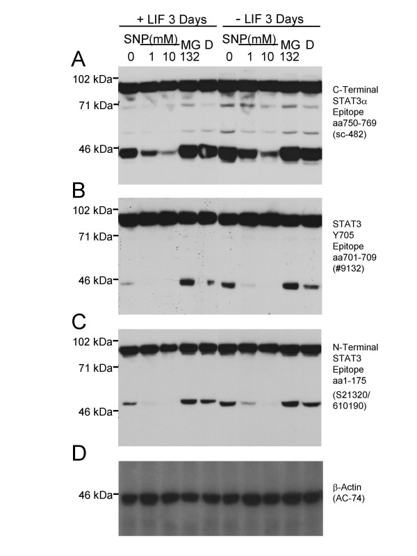 Proteolytic cleavage of STAT3α in HM-1 murine ES cells to 48 kDa and 43 kDa fragments can be inhibited by the NO-donor SNP. A. An antibody (Santa Cruz sc-482) directed against amino acids 750–769 at the carboxy terminus of STAT3α revealed full-length STAT3α and a 43 kDa carboxy terminal cleavage product. 90 μg of protein were loaded per lane. B. Blot stripped and re-probed with an antibody (Cell Signaling Technology #9132) that recognises an epitope around the STAT3 Y705 residue within the carboxy terminal region, again detecting the 43 kDa cleavage fragment. C. Blot stripped and re-probed with an antibody that recognises an epitope within the STAT3 amino terminal amino acid 1–175 region (BD/Transduction Laboratories S21320/610190), detecting full-length STAT3α and a STAT3-derived 48 kDa amino terminal cleavage fragment. Cell culture treatment with the NO-donor (and caspase inhibitor) SNP for 2 hours reduced the level of the 43 kDa and 48 kDa fragments in a dose-dependent manner (lanes 1–3, 6–8 in panels A - C ) in HM-1 ES cells cultured in either the presence (+LIF, lanes 1–5) or absence (-LIF, lanes 6y10) of added LIF in the medium. In contrast, the proteasome inhibitor MG132 added to 10 μM in the medium for 2 hours (with DMSO vehicle to a final concentration of 0.2% vol/vol) could not inhibit cleavage (lanes 4, 9 in A - C ) relative to untreated cells, or DMSO vehicle alone (D). D . Blot stripped and re-probed with an anti β-Actin monoclonal antibody (Sigma, AC-74) to confirm equal amounts of protein loaded per lane.
