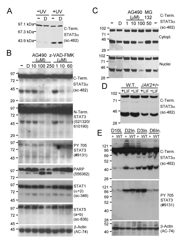 Modulation of <t>STAT3α</t> cleavage by caspase and JAK2 protein tyrosine kinase activity. A. Immunoblot showing a significant increase in STAT3α cleavage following UV irradiation. The Santa Cruz sc-482 antibody (recognising the carboxy terminus of STAT3α) revealed a significant increase in the level of the 43 kDa fragment following UV irradiation (+UV) of HM-1 ES cells (254 nm, 1 mJ/cm 2 , with harvesting 13 hours later) compared to control un-irradiated (-UV) cells in the presence (D) or absence (-) of 0.5% vol/vol DMSO vehicle, 100 μg of whole cell extract protein loaded per lane. B. Immunoblot demonstrating dose-dependent inhibition of STAT3α cleavage by the pan-caspase inhibitor z-VAD-FMK and the JAK2 tyrosine kinase inhibitor AG490. The 43 and 48 kDa STAT3α fragments were essentially abolished by pretreating HM-1 ES cells with z-VAD-FMK to 60 μM (lanes 1, 2, 6–8, C-term. STAT3α and N-term. STAT3 panels) or AG490 to 250 μM (lanes 1–5, C-term. STAT3α and N-term. STAT3 panels) for 18 hours in the cell culture medium before harvesting. The 250 μM AG490-mediated abolition of STAT3α cleavage correlated with loss of tyrosine phosphorylation of the STAT3α Y705 residue (lane 5, PY 705 STAT3 panel). 75 μg of whole cell extract protein loaded per lane, DMSO added to 0.5% vol/vol in the culture medium in the z-VAD-FMK and AG490 treatments and the DMSO control (D). C . Identical behaviour of HM-1 ES cell cytoplasmic and nuclear extracts following AG490-mediated inhibition of STAT3α cleavage and inability of 50 μM MG132 to inhibit STAT3α cleavage. 100 μg of cytoplasmic or nuclear extract protein loaded per lane, DMSO added to 1% vol/vol in the culture medium for AG490 and MG132 treatments and DMSO controls (D), treatments given for 7 hours prior to cell harvesting. Immunoblots used the Santa Cruz sc-482 antibody. D. Down-regulation of STAT3α cleavage in JAK2 heterozygous knockout ( JAK2 +/- ) ES cells. Wild type HM-1 and JAK2 +/- ES cells were cultured with (+LIF) or withou