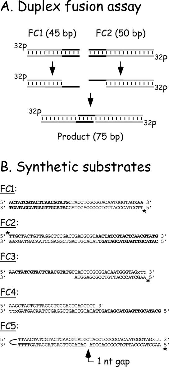 Experimental scheme and oligonucleotide sequences. ( A ) Principle behind the joining reaction. By exposing complementary sequences, vaccinia DNA polymerase promotes duplex joint formation. ( B ) Sequences of the oligonucleotide substrates used in this paper. Homologous sequences are shown in boldface. The nucleotides shown in lower case are incorporated post-synthetically using reverse transcriptase, cidofovir diphosphate or N 4 -modified <t>biotin-14-dCTP</t> ('x'), and dATP or dTTP. Note that the primer–template design, in FC3, FC4 and FC5, prevents extension from the other 3′ end by this fill-in reaction. The 32 P label is indicated with an asterisk ('*').