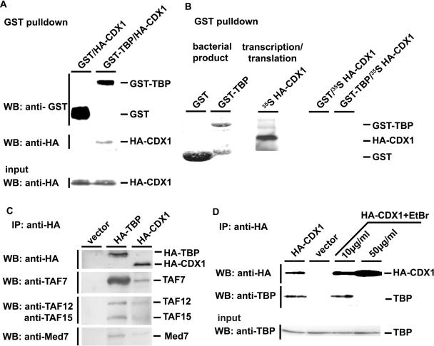 Characterization of the CDX1/TBP interaction. (A) Interaction of bacterially-produced GST-TBP and cellular HA-CDX1. GST or GST-TBP produced in bacteria was bound to glutathione–Sepharose-4B beads [see also the first two lanes in (B) ] and mixed with HCT116 cells extracts containing HA-CDX1. After GST-pulldown, the presence of GST and GST-TBP was revealed using anti-GST antibody, and the presence of HA-CDX1 was detected using anti-HA antibody. The presence of HA-CDX1 in the cell extracts prior to GST-pulldown was control by western blot with anti-HA antibody (Input). (B) Lack of interaction between bacterially-produced GST-TBP and in vitro translated HA-CDX1. GST (first lane, Coomasie blue staining) and GST-TBP (second lane, Coomasie blue staining) were produced in bacteria and bound to glutathione–Sepharose-4B beads. 35 S-Methionine-labeled HA-CDX1 was synthesized by in vitro transcription/translation (third lane, autoradiography). By mixing GST and HA-CDX1 (fourth lane) or GST-TBP and HA-CDX1 (fifth lane), no interaction was detected after GST-pulldown and autoradiography. (C) CDX1 interaction with components of the TFIID and Med complexes. HCT116 cells were transfected with the control empty vector or with the plasmids encoding HA-TBP or HA-CDX1. Proteins immunoprecipitated with anti-HA antibody were detected by western blots using the antibodies raised against TAF7, TAF12, TAF15 and Med7. D. Effect of ethidium bromide (EtBr) on the CDX1/TBP interaction. HCT116 were transfected with the plasmid encoding HA-CDX1 and the proteins were immunoprecipitated with anti-HA antibody in the presence of increasing amount of ethidium bromide. Western blot with anti-HA antibody was used to control the step of immunoprecipitation and anti-TBP was used to detect the co-immunoprecipitated TBP. The presence of TBP in every cell extract prior to co-immunoprecipitation was controlled using anti-TBP antibody (Input).