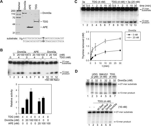 Dnmt3a stimulates the glycosylase activity of TDG. ( A ) Purified recombinant 6xHis-tagged Dnmt3a, APE and TDG proteins (Coomassie blue staining). The purity of Dnmt3a, APE and TDG was about 85, 90 and 80%, respectively, as determined by densitometry. Lower panel, the G/T mismatch-containing substrate (27 bp) used for the glycosylase activity assay. The upper T-containing strand was labeled with 32 P at the 5′ end. ( B ) Glycosylase activity assay for TDG in the absence and presence of Dnmt3a or APE. The reactions in lanes 1–9 contained 25 mM HEPES (pH 7.8), 0.5 mM EDTA, 0.5 mM DTT, 0.5 mg/ml BSA and 10 nM substrate DNA. The reactions in lanes 10–12 contained 50 mM NaCl and 2 mM MgCl 2 in addition to the above and show no difference, ruling out any possibility that the stimulation is only due to the addition of salt from the Dnmt3a prep. All reactions were incubated at 30°C for 1 h. The excision of unpaired thymine resulted in breakage of the upper strand upon subsequent hot alkaline treatment. The generation of the 13mer breakage product was examined by separation on a denaturing gel followed by quantification with phosphoimaging. The lower panel is a bar graph representation of TDG enzymatic assays. The activity of TDG alone was set to 1. The relative activity (given on the y -axis) for each reaction is the average of three experiments ±SD. ( C ) The kinetics of the base-excision reaction of TDG with and without Dnmt3a. DNA substrate (10 nM) was incubated with TDG (4 nM) alone or with Dnmt3a (20 nM) in the reaction buffer without NaCl for different time periods indicated on the top. The lower panel is a line graph representation in which the activity for each reaction at different time points is the average of three experiments ±SD. ( D ) Specific stimulation of TDG glycosylase activity by Dnmt3a. The glycosylase reaction was carried out for 30 min at 30°C. The upper panel shows the lack of stimulation of two other glycosylases UDG and SMUG1 by Dnmt3a. The DNA sub