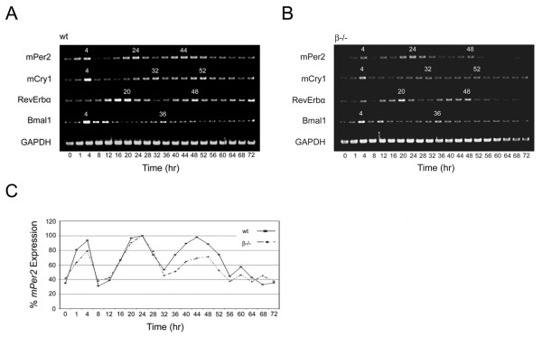 Circadian oscillation profiles of clock genes in wild-type and GSK3β -/- MEFs . A , wild type and B , GSK3β -/- cells were synchronized, harvested, processed, and the gene products were amplified as described in the Materials and Methods. The resulting transcriptional profiles of murine GAPDH , m Per2 , m Cry1 , RevErbα , and Bmal1 were analyzed by reverse-transcription PCR. The subjective time points (TP) of peak expression are designated in white above the corresponding bands for each transcript examined. Panel C is a graphical depiction of m Per2 transcriptional oscillation based on relative values derived from densitometric measurements of PCR-amplified DNA bands in panels A and B expressed as percentages of the highest recorded value in each respective data set.