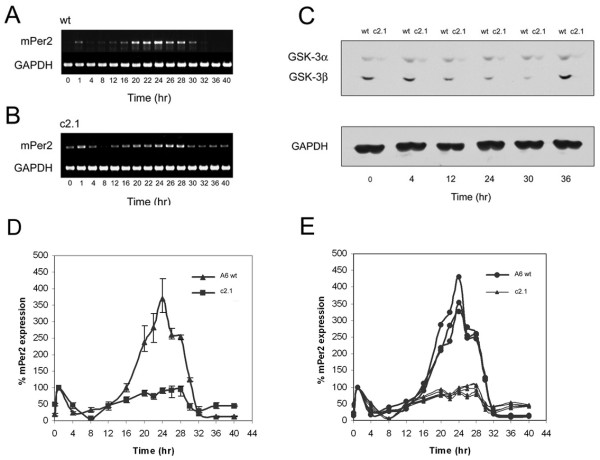 Circadian oscillation profile of mPer2 in wildtype and GSK3β (-/-) ; GSK3α (flox/-) MEFs . The transcriptional profile of mPer2 and GAPDH were analyzed by reverse-transcription <t>PCR</t> in the A6(wt) and c2.1(3/4 DKO) cell lines, as depicted in panels A and B , respectively. Protein samples harvested from whole-cell lysates in parallel to RNA samples harvested for transcriptional analysis at corresponding time points were analyzed by SDS-PAGE electrophoresis. Western blot analysis of these protein samples for total-GSK3 and GAPDH is depicted in Panel C for TPs 0, 4, 12, 24, 30, and 36. Panels D and E are graphical depictions of relative levels of mPer2 expression in A6 and c2.1 based on three separately harvested A6 RNA sample sets and six c2.1 RNA sample sets. Relative values derived from densitometric measurements of PCR-amplified <t>DNA</t> bands are expressed as percentage values of mPer2 at TP1.