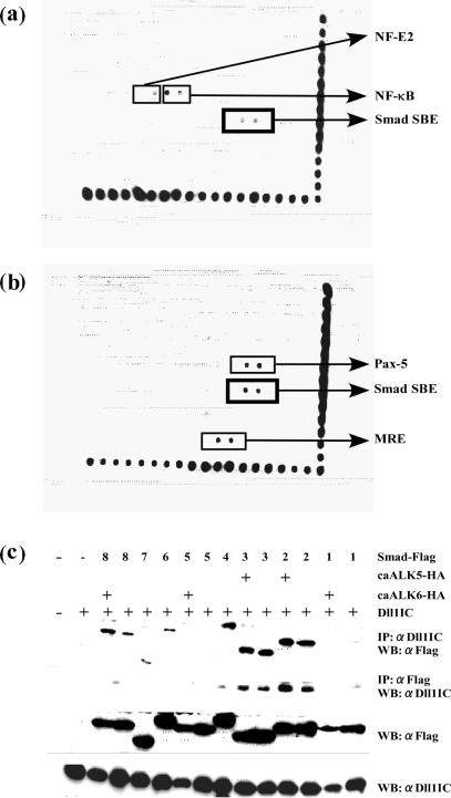 Dll1IC bound to Smad2, Smad3 and Smad4. (a) Result of screening for transcription factors that bind to Dll1IC. Note that Smad binding sequences showed strong signals (boxed). (b) Signal from Smad binding sequences (boxed) were enhanced by the addition of recombinant Dll1IC protein to the nuclear extract before immunoprecipitation. Signals from Pax-5 binding sequence and mineral corticoid response element (MRE) were also enhanced by the addition of recombinant Dll1IC protein. On the other hand, signals from NF-κB binding site and NF-E2 binding sequence were disappeared by the addition of recombinant Dll1IC protein. Spots along the right and bottom side of arrays are markers for alignment. (c) COS7 cells were transiently co-transfected with each expression vector for 8 Smads and Dll1IC expression vector with or without expression vectors for constitutive activated receptor (caALK5-HA or caALK6-HA). Forty-eight hours after transfection, lysates from co-transfected COS7 cells were subjected to immunoprecipitation (IP) with the indicated antibodies, followed by western blotting (WB). αDll1IC, rabbit anti-Dll1IC antibody; αFlag, mouse monoclonal <t>anti-FLAG</t> M2 antibody. Levels of expression of Smads and Dll1IC were determined by western blotting and are shown in the bottom two panels.
