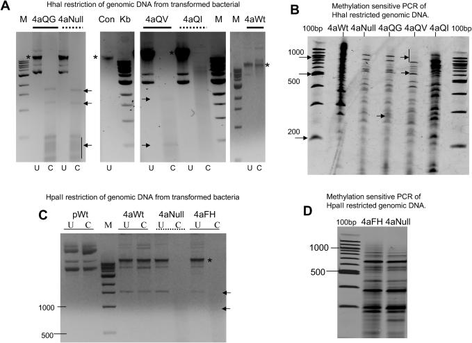Analysis of genomic DNA from bacteria expressing targeted methyltransferase enzymes. ( A ) Restriction analysis of genomic DNA recovered from bacteria expressing various 4aHhaI enzyme derivatives (and containing the target site vector), described above the relevant lanes. The lane denoted 'Con' represents genomic DNA isolated from untransformed bacteria. U, uncut; C, cut with HhaI restriction enzyme. (Fragments seen in some 'cut' lanes are derived from plasmid carryover during genomic DNA preparation, shown using arrows. Input genomic DNA is shown using asterisks.) ( B ) Arbitrary primed PCR of the HhaI restricted genomic DNA described in ( A ). ( C ) Restriction analysis of genomic DNA recovered from bacteria expressing various 4aHpaII enzyme derivatives, described above the relevant lanes. pWt is plasmid DNA coding for the wild-type targeted enzyme. U, uncut, C, cut with HpaII. ( D ) Arbitrary primed PCR of HpaII restricted genomic DNA described in ( C ). M is 1 kb ladder (NEB), 100bp is 100 bp ladder (NEB).