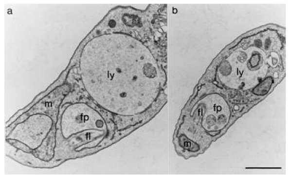 Effect of Z-Phe-Ala-CHN 2 on the size of the lysosome of T. brucei bloodstream forms in vivo . Mice were infected and treated as described in the legend to Fig. 1. On day 5 p.i., trypanosomes were purified and processed for electron microscopy. Ultrathin sections of representative cells purified from mice treated with Z-Phe-Ala-CHN 2 ( a ) and vehicle alone ( b ) are shown. Note the enlarged lysosome in the trypanosome exposed to Z-Phe-Ala-CHN 2 compared with that in the short-stumpy form from control mice. fl, flagellum; fp, flagellar pocket; ly, lysosome, m, mitochondrion. Bar, 0.5 μm.