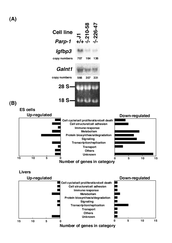 Confirmation of differentially expressed genes in microarray analysis by northern blot analysis (A), and functional categorization of up- and down-regulated genes (B) . Ten micrograms of total RNA were used for northern blot analysis in (A). Copy numbers were calculated from the radioactivities of the probe control.