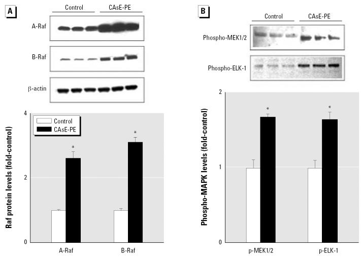 Analysis of the effect of chronic arsenic exposure of prostate epithelial cells on MAPK activation. ELK, E-26-like protein-1. CAsE-PE cells were first derived by exposing RWPE-1 cells to 5 μM sodium arsenite for 30 weeks. Proteins were isolated from control and arsenic-transformed CAsE-PE cells and subjected to Western blot analysis. ( A ) A- and B-Raf protein expression. ( B ) MEK1/2 and ELK-1 MAPK activation. Upper panel is a representative blot, whereas the lower panel is densitometric analysis normalized to β -actin. Densitometric data are given as fold-control and expressed as means ( n = 3); error bars represent SE. *Significantly different from control.