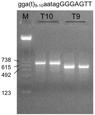 Exon trapping assay of SOD2 intron 2 – exon 5 region. Ethidium bromide staining of the RT-PCR products from the exon trapping of the polymorphic genomic fragments (containing either T10 and T9 polymorphism). M is the marker lane with described sizes.