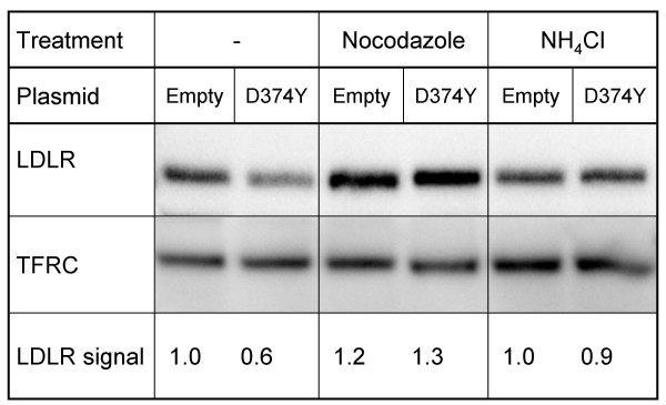 Effect of nocodazole and ammonium chloride on PCSK9-mediated degradation of the LDLR . HepG2 cells were cultured in media supplemented with nocodazole (20 μg/ml) or ammonium chloride (NH 4 Cl, 10 mM) for 30 min. The media were then replaced with conditioned media from HepG2 cells transiently transfected with D374Y- PCSK9 -FLAG plasmid or with empty plasmid, already containing ammonium chloride or nocodazole, and the incubation was continued for 3 h. The conditioned media had also been added ammonium chloride or nocodazole. Cell membranes were isolated and membrane proteins equivalent to 10 μg were subjected to western blot analysis to determine the amount of LDLR. The amount of transferrin receptor (TFRC) was used as a control. Band intensities were quantified using a ChemiDoc XRS and Quantity One version 4.4.0 software. Results represent the mean (± SD) of four experiments, from which one representative western blot is shown.