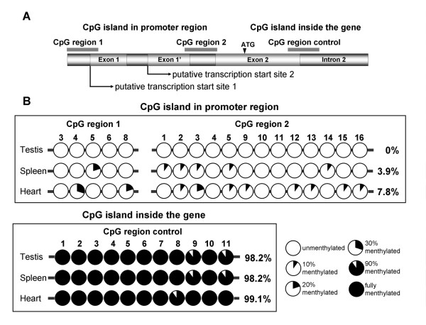 DNA methylation profiles of three CpG regions in bovine RTEL . Three regions of CpG island were chosen for DNA methylation analysis, CpG region 1 (R1) and 2 (R2) are located in promoter region and CpG region control (RC) is in exon 2 and intron 2. A. Relative positions of three CpG regions be analyzed. Position of the islands are indicated by thick lines on the top, related genomic region and ATG site are indicated by boxes and arrow (not to scale), exon1 and exon1' mean alternative first exon and the arrows bellow indicate two putative transcription start sites. B. DNA methylation profile of the three selected regions. The cycles in a string mean the average methylation level of specific sites in each CpG region, the numbers above indicate the relative position of each CpG dinucleotides. Analyzed tissues (testis, spleen and heart) are indicated on the left. For the convenience to compare, CpG regions in the promoter regions (R1 and R2) and internal region are show separately. In each string, the open cycles indicate that the CpG sites are hypomethylated in all the clones that analyzed whereas closed cycles mean fully methylated CpG dinucleotides, other partially blacked cycles indicate different methylation level, details are shown in the right of the bottom. The average methylation level was calculated by sequencing ten individual clones of the PCRs. Besides the methylation level of each CpG sites, the percentages of DNA methylation in the indicated region of the CpG regions are also shown on the right (the data of R1 and R2 are incorporated to represent the methylation level of the promoter region). Only differential methylated CpG sites in three detected CpG regions are shown in the figure.