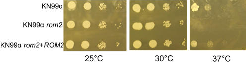 Sensitivity to nocodazole was assessed using KN99α, KN99α rom2 , and KN99α rom2 + ROM2 . Cultures were grown overnight and serial dilutions were plated on YPD with 2 µM nocodazole. Plates were grown for 2 days at 25°C, 30°C or 37°C to detect growth inhibition.