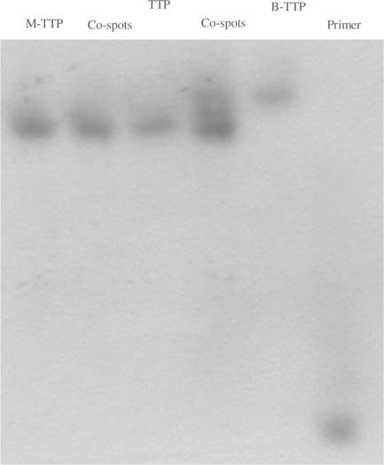 Gel-shifting experiments of full-length natural and boronic acid-labeled DNA using catechol-modified acrylamide gel: reaction was performed with 5 µM 5′- 32 P-primer/template, 0.4 mM of each dNTPs, 0.4 mM of B-TTP and Klenow 0.04 units for 1 h; the acrylamide gel was prepared with 19% acrylamide and 1% N -[2-(3,4-dihydroxyphenyl)-ethyl]-acrylamide co-loaded lane 1. From left to right: lane 1, M-TTP-derived DNA; lane 3, TTP-derived DNA; lane 5, B-TTP-derived DNA; lane 6, primer; lane 2, M-TTP and TTP-derived DNA co-loaded; lane 4, TTP and B-TTP-derived DNA co-loaded.