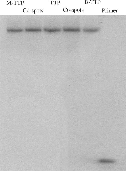 Primer extension using the full-length DNA and boronic acid-labeled DNA as templates. Reaction was performed with 5 µM primer 1/template, 0.4 mM of each dNTPs, 0.4 mM of labeled-TTP (M-TTP and B-TTP), and Klenow 0.04 units for 1 h. After centrifugation–filtration, the reaction was performed with radio-labeled 5′- 32 P-primer 2 and 0.4 mM of each dNTPs. Co-spot 1: polymerization using M-TTP and TTP-derived DNA as templates, Co-spot 2: polymerization using B-TTP and TTP-derived DNA as templates. Primer 1: 5′-GCGTAATACGACTCACTATA-3′; Template DNA: 3′CGCATTATGCTGAGTGATATCCGTTGG A CT A CTCCGGCTT TCCGGCTTTGC A TGT-5′; Primer 2: 5′-TGTACGTTTCGGCCTTTCGG-3′.