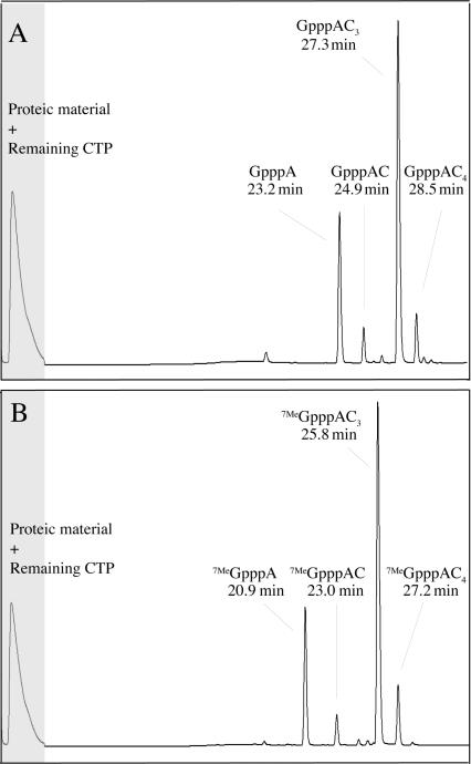 HPLC profiles of T7 DNA primase reaction mixtures using DNA template CCCC GGGT CT 25 . Crude enzymatic mixtures were analyzed directly. Reaction conditions were as follows: T7 DNA primase reaction buffer, <t>DTT</t> and BSA as given in Material and Methods, 5 mM <t>CTP,</t> 1 mM GpppA (A) or 7Me GpppA (B) , 10 µM DNA template CCCC GGGT CT 25 (named dAC3) and 4 µM T7 DNA primase. Reactions were incubated at 37°C for 6 h. The first section (marked in gray) denotes the removal of proteic material and remaining CTP by an on-line cleaning procedure using a pre-column. The produced capped RNAs were then separated on the reverse-phase C18 column. The gradient started after 5 min at 100% eluent A with an increase to 10% eluent B after 25 min, reaching 30% after 35 min and 50% after 40 min.