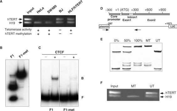 Methylation-sensitive binding of CTCF to the first exon of hTERT . (A) In vivo binding of CTCF to the first exon of hTERT in telomerase-positive and negative cell lines was analyzed by ChIP assay using anti-CTCF antibody. PCR coamplification of the test fragments ( hTERT and H19) using as template DNA input fraction and DNA recovered from immunoprecipitated fractions bound by the anti-CTCF antibody. (B) 5′-end-labeled control (F1) and SssI methylase-treated (F1-met) fragments were digested with methylation-sensitive BstUI and analyzed on polyacrylamide gels to verify efficiency of in vitro methylation. ( C ) Control unmethylated (F1) or SssI-methylated (F1-met) fragments were analyzed by gel-shift assay (EMSA). F, free probe; B, CTCF-bound probe. ( D ) Representation of the hTERT sequence cloned into the pTERT-297/ex2/FRT. Arrows represent the localization of the primers used for hTERT methylation analysis of stable transfectant. ( E ) The methylation status of the stable transfectants was verified by MS-SSCA. Unmethylated and fully methylated controls were obtained from plasmids used for stable <t>transfection.</t> UT and MT represent, respectively, the unmethylated and methylated plasmids stably transfected into HeLa cells, and after 30 population doublings. ( F ) Binding of CTCF to the first exon of hTERT in stably transfected cell line was analyzed by ChIP assay using anti-CTCF antibody.