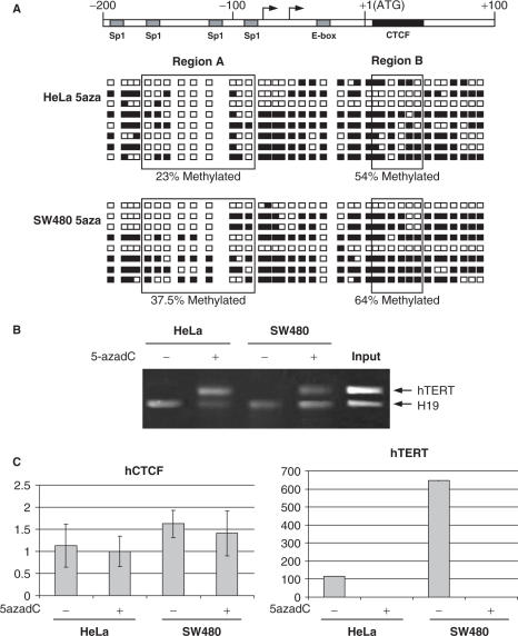 CTCF binding to the exogenous hTERT sequence after 5-azadC treatment. (A) Genomic bisulfite sequencing of hTERT promoter and first exon region (−200 to +100 nucleotide bases around the ATG translational start site). After PCR amplification of bisulfite-modified DNA and cloning into pGEM-T vector, 8 representative clones of HeLa and SW480 are shown. Each square represents one CpG site. Filled squares: methylated; open squares: unmethylated. Region A and region B were represented for an easy comparison with Figure 2 , and percentages of methylated CG are indicated for regions A and B. (B) Binding of CTCF to the first exon of hTERT in 5aza-dC cell lines was analyzed by ChIP assay using anti-CTCF antibody. PCR coamplification of the test fragments ( hTERT exon1 and H19) using as template DNA input fraction and DNA recovered from immunoprecipitated fractions bound by the anti-CTCF antibody. (C) Quantitative reverse transcription-PCR analyses of hCTCF and hTERT expression before and after 5azadC treatment. GAPDH expression is used to normalize samples.
