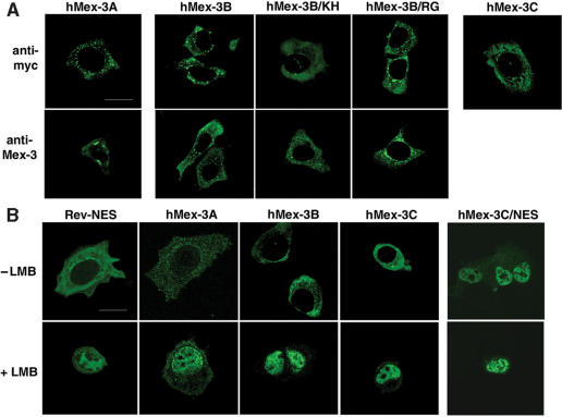 Subcellular localization of hMex-3 proteins. ( A ) MCF7 cells expressing hMex-3A, -3B and -3C were stained with anti-myc antibody ( top ) or with specific anti-hM3Aβ or anti-hM3Bβ antibodies ( bottom ) and revealed by FITC-conjugated secondary antibodies. ( B ) MCF7 cells expressing hMex-3A, -3B, -3C proteins or hMex-3C mutated within the nuclear export signal (NES) sequence were treated with or without 20 ng/ml of Leptomycin B (LMB) and were stained as above. pEGFP-Rev-NES construct was used as a positive control. Scale bar: 20 μm.