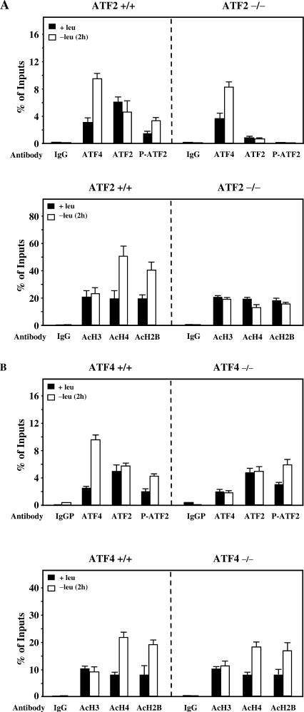 Role of ATF2 in histone acetylation in response to leucine deprivation. ( A ) ATF2 +/+ and ATF2 −/− MEF were incubated 2 h either in control (+leu) or leucine-free medium (−leu) and harvested. ChIP analysis was performed as described under Materials and Methods using antibodies specific for ATF4, ATF2, phospho-ATF2 (Thr-71), acetylated H3, acetylated H4 and acetylated H2B and a set of primers to produce amplicon B ( Figure 2 A). Data were plotted as the percentage of antibody binding versus the amount of PCR product obtained using a standardized aliquot of input chromatin. Each point represents the mean value of three independent experiments and the error bars represent the standard error of the means. ( B ) The same experiment as described in (A) was also performed with wild ATF4 +/+ and ATF4 −/− MEF.