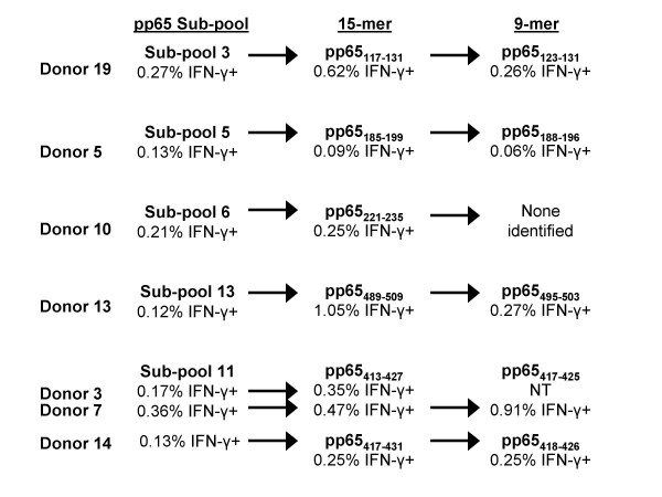 Identification of CMV pp65 15-mer and nanomer epitopes recognized by CD8+ T cells . PBMCs from CMV-seropositive subjects reactive with peptides in a pp65 subpool were tested against all the individual 15-mers in each subpool. Following the identification of reactive 15-mers, nanomers overlapping at 8 amino acids and spanning the reactive 15-mer peptides were tested against PBMCs from the reactive subject. The reactive 15-mer and nanomer peptides are shown. Testing of cells from 7 subjects led to the identification of 6 pp65 15-mers reactive with CD8+ T cells. Testing of the overlapping nanomers identified 5 epitopes. Cells from donor 3 were not available to test with the nanomer peptides. Although CD8+ T cells from donor 10 were reactive with peptides in subpool 6 and a reactive 15-mer, pp65 221–235 , was identified, no reactive nanomer was identified. NT = not tested.