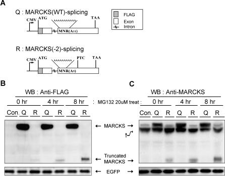 Truncated Protein Expression from Mutant NMD-Irrelevant MARCKS mRNA (A) Schematic diagram of construct Q (MARCKS wild-type genomic DNA) and construct R (MARCKS(−2) deleted genomic DNA). (B) Western blotting (WB) analysis of total protein (30 μg) isolated from transiently transfected cell lines with constructs Q or R. An antibody against FLAG was used as the primary antibody. (C) Western blotting (WB) analysis of total protein (30 μg) isolated from transiently transfected cell lines with the constructs Q or R was performed using an antibody against MARCKS. Enhanced green fluorescent protein (EGFP) was used as a control for transfection efficiency. Comparable results were obtained in at least two independent experiments. Asterisks (*) denote endogenous MARCKS reacted with anti-MARCKS antibody; Con. denotes the control vector pcDNA3.1(+). The dagger indicates uncharacterized protein that did not interfere with experimental interpretations.