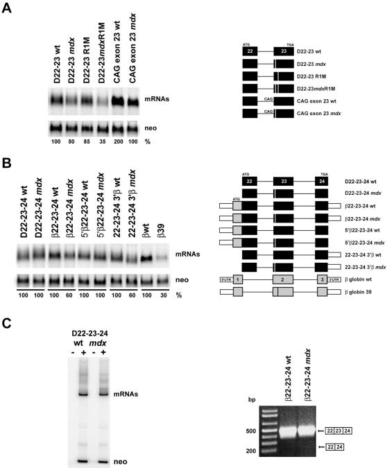 Splicing of dystrophin mini-genes in vivo. Cos 7 cells were transfected with plasmids expressing different portions of the genomic region of the dystrophin gene spanning from exon 22 to exon 23/24. Northern blot analysis was carried out on total RNA prepared 24 hr after transfection, as described in Materials and Methods . Band intensities, quantified by phosphorimager analysis, were normalized for transfection efficiency and RNA recovery to the level of the co-expressed neomycin mRNA (neo). Normalized values were expressed as a percentage of wt mRNAs that were defined as 100. The schematic structure of the substrates is shown on the right part of both panels A and B. Dystrophin exons are identified as in Figure 1 . β-globin exons are shown as gray boxes while the 5′ and 3′ UTRs as white thinner boxes. (A) Two exon mini-genes carrying dystrophin exons 22 and 23. (B) Three exon mini-genes carrying dystrophin exon 22 and 23 and 24, chimeric constructs, and the β-globin system (β−globin wt and β−globin 39 carrying a nonsense mutation at codon 39) used as a reference [81] . Comparable results were obtained in three independent experiments. (C) Left panel: autoradiogram of a representative quantitative RT-PCR performed as described in Materials and Methods . The upper bands correspond to RT-PCR products from dystrophin mRNA obtained with primers located in exons 22 and 24; the lower bands correspond to the neomycin gene used as an internal control. −and+lanes correspond to reactions carried out in absence or presence of reverse transcriptase. Right panel: non-quantitative RT-PCR performed as described in Materials and Methods . Mobility of the predicted splicing products is shown on the right. The PCR product deriving from skipping of exon 23 was not detected.