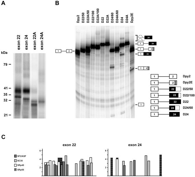 SR proteins interact with dystrophin exon 22 and 24. A) Different SR proteins associate with exons 22 and 24. 32 P labeled exon 22 and 24 RNAs, incubated with SR proteins were subjected to UV-crosslinking as described in Figure 3 . Molecular weight markers are shown at the left; exon 22A and 24A correspond to the antisense RNAs used as controls. B) Exon 24, but not exon 22 activates splicing of the enhancer-dependent Dpy2 RNA. Different regions of dystrohin exon 22 (145 nt) and 24 (113 nt) were cloned in the second exon of the enhancer-dependent Dpy2 substrate. The structure of the chimeric constructs subjected to in vitro splicing reactions is shown on the right of the panel, with black boxes indicating exon 22 and 24 and dashed boxes the portion of the corresponding exon not included in the pre-mRNA. A indicates the anti-sense orientation of each region, while numbers after the slash indicate their nucleotide length. Dpy2 and Dpy2E are defined as in Figure 1 . The structures and the mobility of the products and intermediates of splicing are shown on both sides of the panel. Asterisks indicate the position of the spliced RNAs. The molecular weigh of the band detected below the D24/60 RNA precursor does not correspond to the expected splicing product. In vitro splicing reactions were carried out as in Figure 1 . Comparable results were obtained in two independent experiments. C) Schematic representation of SR binding sites within dystrophin exon 22 and 24 computed by ESEfinder [61] , [62] .
