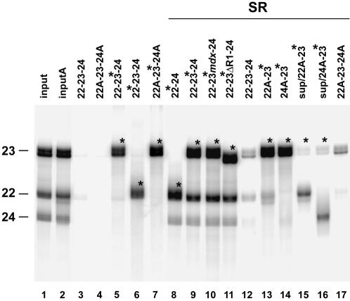 SR proteins mediate associations of exons 22, 23 and 24. Biotinylated and non-biotinylated dystrophin exons labeled with 32 P-ATP (sense exons) or 32 P-UTP (antisense exons), were mixed with purified SR proteins. Following incubation, biotinylated RNAs were purified with streptavidin magnetic beads and the formation of RNA complexes was analyzed on 10% denaturing polyacrylamide gel. Asterisks and A indicate biotinylated and antisense exons respectively. Lanes 1 and 2, showing the relative migration of exons 22, 23 and 24, contain one-fourth of the RNA inputs assayed in lanes 8–11 and 13–14 respectively. Lane 15 and 16 contain one-fourth of the supernatants collected from reactions loaded in lanes 13–14. Background levels, probably generated by non-specific trapping of RNA or RNA/protein complexes into the magnetic beads, are shown in lanes 3, 4, and 12 and 17 respectively. Comparable results were obtained in three independent experiments.