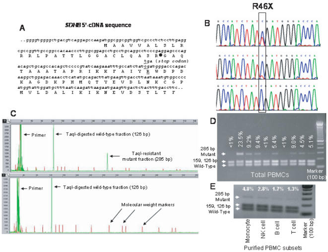 Analysis of SDHB R46X mRNA mutation. A. The SDHB gene has 843 bp coding nucleotides spread to 8 exons within ∼35 kb at chromosome band 1p36.13. The 5′- portion of the gene shows the position of the R46X mutation and the mitochondrial signal peptide cleavage site (filled circle). B. Sequence chromatograms of RT-PCR products show samples that have high (top), low (middle), or undetectable (bottom) amounts of mutant R46X sequences. C. Quantification of the mutant fraction involved Taq I RE digestion of fluorescently-labeled RT-PCR products and capillary gel electrophoresis. The red peaks denote the molecular weight marker. D. The agarose gel electrophoresis shows variable fractions of mutant RT-PCR products from normal PBMCs detected by Taq I RE digestion, which releases two bands 159 and 126 bp in size from the wild-type sequence (also see Fig. S1A ). E. Fractions of Taq I RE resistant transcripts in the purified PBMC cell types are shown in an agarose gel. The negative image is presented to enhance the visibility of mutant transcripts.
