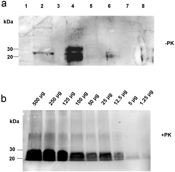 Western blot analysis of short-time incubation experiments. a) Western blot detection of PrP C extracted from soil mixed with non-infectious brain homogenate (5% pork brain in German standard soil). Several different buffers and solutions were used for extraction. Lane 1: water; lane 2: Triton X-100; lane 3: 1% urea; lane 4: 1% SDS; lane 5: Zwittergent; lane 6: RIPA buffer; lane 7: NP-40; lane 8: Na-sarcosyl. b) Western blot detection of PrP27-30, the proteinase K-resistant core of PrP Sc , extracted by using 1% SDS from soil contaminated with 263 K scrapie brain homogenate from hamsters after 1 h of incubation (dilution series). PrP Sc could be detected in soil samples containing 1.25 µg or higher amounts of scrapie brain tissue after extraction with 1% SDS-solution. Samples were digested with <t>proteinase</t> K prior to Western blotting.