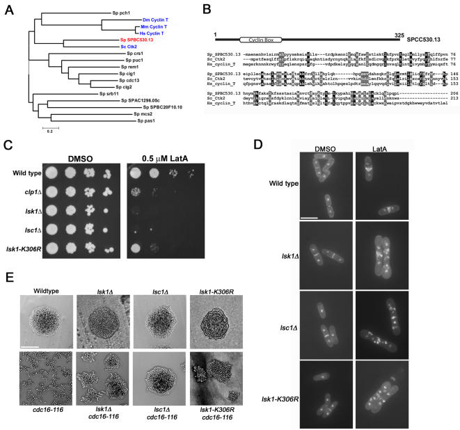 Strains bearing the lsc1Δ or lsk1-K306R mutations display highly similar cytokinesis defects as compared to lsk1Δ mutants. (A) A phylogeny analyzing the relationship between S. pombe cyclins (black type) and the cyclin partners of Lsk1p relatives in budding yeast, mouse, human, and Drosophila (blue type). The most likely cyclin partner of Lsk1p based on this analysis, SPCC530.13, is shown in red. The phylogeny was created by MEGA version 3.1 software using the neighbor-joining algorithm. Sp, Schizosacharomyces pombe ; Dm, Drosophila melanogaster ; Hs Homo sapiens ; Mm Mus musculus ; Sc Saccharomyces cerevisiae . (B) ClustalW alignment comparing S. pombe SPCC530.13, S. cerevisiae Ctk2p, and human cyclin T. (C) Ten-fold serial dilutions of logarithmically growing cultures were plated onto YES plates containing 0.5 µM LatA or DMSO (solvent control) and incubated at 32°C for 3 days. (D) Cells of the indicated genotype were grown to mid-log phase at 32°C and then treated with 0.3 µM LatA for 5 hours before being fixed and stained with DAPI (nuclei) and aniline blue (cell wall/septa). Bar, 10 µM. (E) Cells of the indicated genotype were freshly streaked to YES plates and incubated for 24 hours at 36°C. Bar, 50 µM.