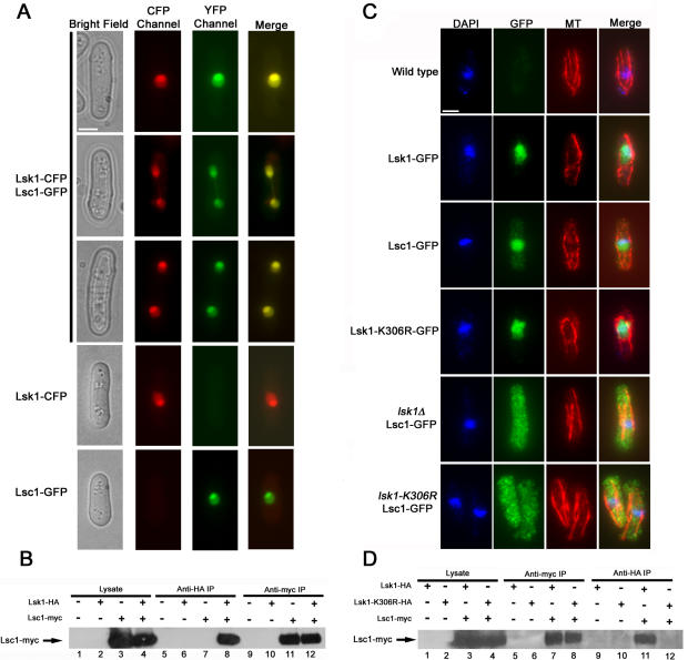 Lsk1p and Lsc1p co-localize to the nucleus and physically interact in a manner dependent on Lsk1p kinase activity. (A) Cells expressing Lsk1-CFP or Lsc1-GFP under the control of the thiamine repressible nmt1 promoter were grown for 12 hours in minimal media in the absence of thiamine, and then imaged in the CFP and YFP channels, respectively. Bar, 3 µM. (B) Wild-type, Lsk1-HA, Lsc1-myc, and Lsk1-HA Lsc1-myc cells were grown to mid-log phase and lysed under native conditions. A portion of the lysates were subjected to anti-HA and anti-myc immunoprecipitations. Both total lysates and immunoprecipitates were resolved by SDS-PAGE and immunoblotted with antibodies specific for the myc epitope. (C) Cells of the indicated genotype, carrying integrated GFP tagged versions of Lsk1p or Lsc1p under the control of their native promoter, were grown to mid-log phase in YES media, fixed, and then stained with DAPI (nuclei) and antibodies specific for microtubules and GFP. Bar, 3 µM. (D) Lsk1-HA, Lsk1-K306R-HA, Lsk1-HA Lsc1-myc, and Lsk1-K306R-HA Lsc1-myc cells were grown to mid-log phase in YES and lysed under native conditions. A portion of the lysates were subjected to anti-HA and anti-myc immunoprecipitations. Both total lysates and immunoprecipitates were resolved by SDS-PAGE and immunoblotted with antibodies specific for the myc epitope.