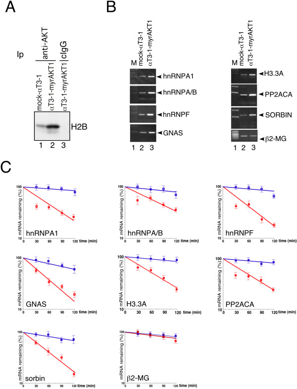 PI3K-AKT signaling stabilizes a set of KSRP-interacting mRNAs and increases their expression. (A) Either mock-αT3-1 or αT3-1-myrAKT1 cells were lysed and total extracts were immunoprecipitated (Ip) with either anti-AKT antibody or control IgG (cIgG). Pellets were incubated (20 min at 30°C) with histone 2B (H2B) in kinase buffer in the presence of γ[ 32 P]ATP under gentle shaking. Labeled proteins were separated by SDS-PAGE and detected by autoradiography. (B) Expression of KSRP-interacting mRNAs and β2-MG (control transcript), monitored by RT-PCR, in either mock-αT3-1 or αT3-1-myrAKT1 cells. (C) Semi quantitative RT-PCR analysis of both KSRP-interacting mRNAs and β2-MG (control transcript) in either mock-αT3-1 (red lines) or αT3-1-myrAKT1 (blue lines). Total RNA was isolated at the indicated times after addition of Actinomycin D. The amount of each transcript was quantitated by densitometry and plotted using a linear regression program. The values shown are averages (± SEM) of three independent experiments performed in duplicates. A quantitation of the transcripts' t(1/2) is presented in Additional file 7 .