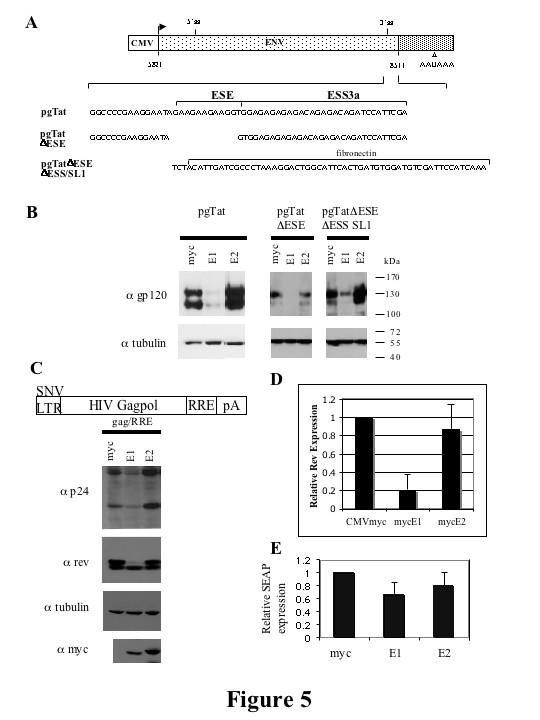 hnRNP E1 but not hnRNP E2 inhibit expression of subgenomic HIV-1 expression vectors . (A) Schematic of HIV-1 env expression vector, pgTat, including the location of the ESE and ESS. The sequences of pgTat derivatives pgTatΔESE and pgTatΔESEΔESS SL1 are shown. (B) HeLa cells were co-transfected with pgTat or derivatives thereof, SVH6Rev, and hnRNP E expressing plasmids as indicated. 48 hours post-transfection, cells were harvested in RIPA buffer, and lysates fractionated on SDS-PAGE gels. Following transfer to <t>PVDF</t> membranes, blots were probed with antibody against gp120 and tubulin. (C) Effect of hnRNP E proteins on Gag/RRE expression. Shown is a diagram of the Gag expression construct used. HeLa cells were transfected with Gag/RRE, hnRNP E and Rev expression constructs as indicated. 48 hrs post transfection, cells were harvested, and lysates fractionated on SDS-PAGE gels. Blots were probed with antibody against Rev and <t>p24,</t> stripped then reprobed for tubulin and myc to confirm equal loading and similar expression of myc-tagged constructs respectively. To quantitate changes in Rev protein expression, blots were scanned and analyzed in Imagequant. Summary of 5 independent determinations is shown (D). (E) Effect of hnRNP E proteins on SEAP expression. Media from cells transfected with a SEAP expressing plasmid was harvested 48 hrs post transfection and SEAP expression normalized to that seen upon cotransfection with the CMVmyc control vector. Results shown are an average of 3 experiments. Error bars show standard deviation. SEAP expression of the myc control vector was set to 1.