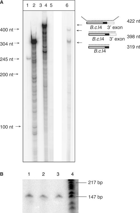 RNase T1/A protection assay ( A ) and radioactive RT-PCR ( B ) showing that the extra 56-nt element 3′ of the B.c .I4 intron is part of the intron RNA and not part of the exons. In A , lanes 1, 2 and 3 show positive controls based on mouse RNA, and lanes 4, 5 and 6 show the results based on B. cereus RNA. Lane 1: digested antisense mouse β-actin RNA probe hybridized with mouse liver RNA; lane 2: same probe as in lane 1, undigested; lane 3: same probe as in lane 1, digested, without mouse liver RNA; lane 4: undigested B.c .I4-3′exon junction probe hybridized to B. cereus ATCC 10987 total RNA; lane 5: same probe as in lane 4, digested, without RNA sample; lane 6: same probe as in lane 4, digested, with RNA sample. A schematic of the experiment illustrating the location of the probe and the expected products is shown on the right. The black area represents the extra 56-nt element. In B , lanes 1, 2 and 3: RT-PCR conducted with exon-specific primers I4B_right (radiolabeled) and I4A_left ( Table 1 ) using as template total RNA sample isolated from B. cereus ATCC 10987 at 3, 4 and 6 h of growth, respectively. Lane 4: γ [32-P] ATP 5′-end-labeled pBR322 DNA digested with MspI (New England Biolabs), as marker.