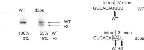 Radioactive RT-PCR assay for detecting the use of alternative 3′ splice sites. The assay was conducted with exon-specific primers I4B_right (radiolabeled) and <t>5p_left_BamHI</t> ( Table 1 ) with wild-type (WT) and d3ps mutant constructs spliced in vitro in 40 mM MOPS (pH 7.5), 500 mM (NH 4 ) 2 SO 4 and 100 mM MgCl 2 at 45°C. While no alternative splicing was detected for the WT B.c .I4 intron, the d3ps mutant could use a 3′ splice site at position +2 downstream of the mutated wild-type site. Quantification of the bands using a phosphorimager is shown, expressed as percentage of total radioactivity. The intron-3′ exon splice junction is shown on the right, with mutated nucleotides boxed.