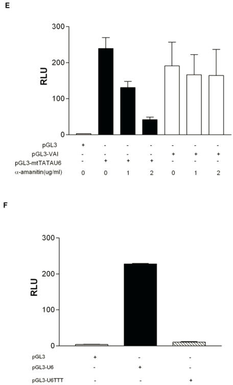 RNA polymerase III transcription can be measured in vivo using a RNA pol III dual luciferase assay. (A) Transient transfection of HeLa cells with increasing concentrations of pGL3-U6 (100ng, 200ng, 300ng), pGL3-VAI (100ng, 200ng, 300ng) or empty pGL3 vector (300ng). (B) Luciferase activity comparison of the wild-type human U6 promoter (100ng) with a mutant human U6 promoter, lacking a functional TATA box and PSE (100ng). Cells were also transfected with empty pGL3 (100ng) as negative control. (C) Comparison of wild-type VAI (100ng) promoter luciferase activity with a mutant VAI construct lacking both the A and B box promoter elements of the VAI promoter (100ng). Cells were also transfected with empty pGL3 (100ng) as negative control. (D) HeLa cells transiently transfected with either empty pGL3 (50ng), wild-type pGL3-U6 (50ng), or a previously characterized mutant U6 lacking a functional TATA box and transcribed by RNA pol II, pGL3-mtTATAU6 (25ng) and treated with 0 μg/ml or 3 μg/ml α-amanitin. (E) HeLa cells transiently transfected with either empty pGL3 (100ng), wild-type pGL3-VAI (100ng), or a previously characterized mutant U6 lacking a functional TATA box and transcribed by RNA pol II, pGL3-mtTATAU6 (50ng) and treated with 0 μg/ml, 1 μg/ml or 2 μg/ml α-amanitin. (F) Transient transfection of pGL3 (100ng), pGL3-U6 (100ng), or pGL3-U6TTT (100ng) with a run of T residues inserted downstream of the human U6 promoter, but upstream of the the Kozak consensus translation initiation site of the luciferase gene in pGL3. All luciferase assay results expressed as relative light units (RLU): the average of the Photinus pyralis firefly activity observed divided by the average of the activity recorded from Renilla luciferase vector. Experiments were done in triplicate, repeated three times, representative experiments are depicted.