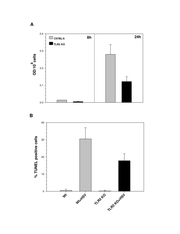 HSV infection induces apoptosis in murine microglial cells. Wild-type and <t>TLR2</t> -/- C57BL/6 microglial cells were infected with HSV at a MOI of 2. (A) The cells were examined for apoptotic <t>DNA</t> fragmentation using an oligonucleosomal ELISA at 8 and 24 h p.i. Data are presented as optical density (OD) per 10 4 cells and are representative of three independent experiments using cells isolated from different brain specimens. (B) TUNEL staining of wild-type and TLR2 -/- microglia at 24 h p.i. After fixing and staining the wells, TUNEL positive cells from at least five fields were counted for each well. Data presented were representative of three independent experiments.