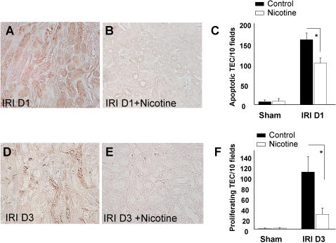 Nicotine reduces tubular epithelial cell apoptosis and subsequent proliferation. Immunostaining of cleaved caspase-3 (A, B) and <t>Ki67</t> (D, E) were performed one day and 3 days after I/R, respectively. Panel A represents TEC apoptosis in saline-treated animals (magnification ×40) and panel B represents TEC apoptosis in nicotine pre-treated animals (magnification ×40). Graph C compares the quantification of apoptotic TECs in saline-treated (black bars) or nicotine-treated animals (white bars), either after sham operation (n = 6 in each group) or renal I/R (n = 7 in saline-treated group and n = 10 in nicotine pretreated group). Panels D and E compare Ki-67+ cells between saline-treated animals and nicotine-treated animals (magnification ×40). Graph F compares the quantification of proliferation 3 days after reperfusion (n = 5 in each group). Data are expressed as mean ± SEM, (*) p≤0.05.